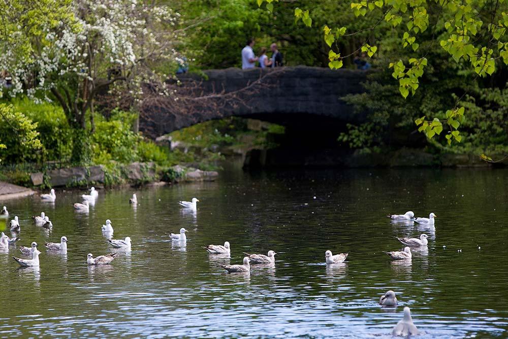 Swans in the river in Dublin